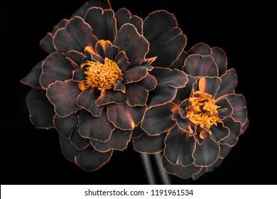 garden flowers, bouquet, petals with orange edges, dark background.