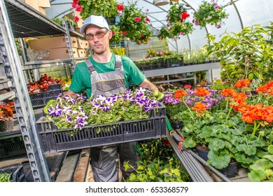 Garden and Flowers Business. Greenhouse Worker. Flowers Cultivation.