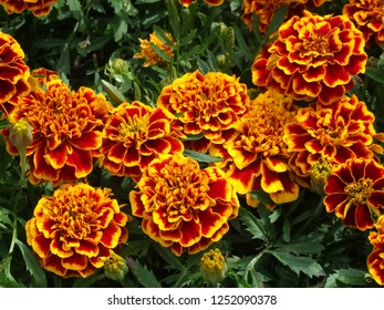 Garden flowers. French marigolds named Colossus. Close up yellow and red large flowers