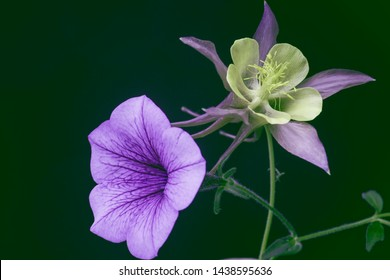 garden flowers with purple buds on a dark green background, two flowers.