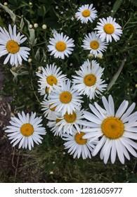 garden flowers white camomile