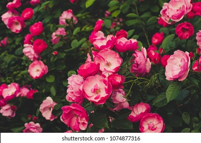 Garden with fresh pink roses, floral natural hipster vintage background