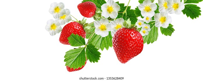 garden fruits plant.tasty fresh strawberry
