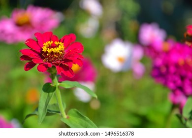 Garden full of colorful zinnias. Beautiful summer flowers. Group of romantic zinnia flowers for background.
