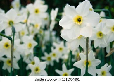 Garden full of white daffodils in Central Park