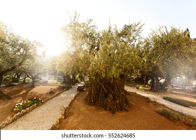 Garden of Gethsemane. Famous historic place in Jerusalem, Israel.