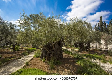 Garden Of Gethsemane, Jerusalem, Israel. The Gnarled Olive Trees They See  Could Have