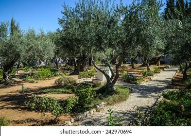 Good Garden Of Gethsemane, Mount Of Olives, Israel Gallery