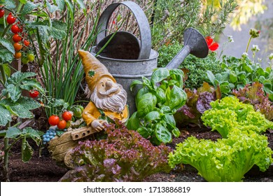 Garden gnome ornament figurine with wheelbarrow among different species of lettuce, herbs, tomatoes and vegetables in wooden box of square foot garden