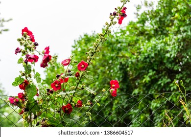 Garden in green summer in Ukraine with foliage and red pink malva climbing flowers with nobody