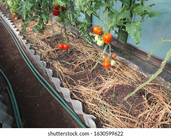 garden with growing tomatoes in a greenhouse