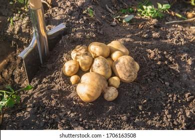 The garden harvest a potato crop with a shovel. Selective focus. nature.