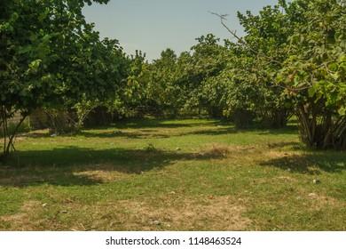 Garden of Hazelnut tree in backyard. Green grass.