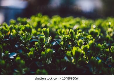Garden hedge outdoors