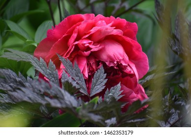 Garden Hidden Peony Flower Blossom in Bloom