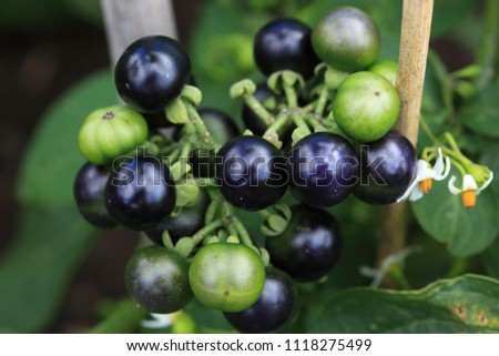 Garden Huckleberry Solanum Melanocerasum Stock Photo (Edit Now ...