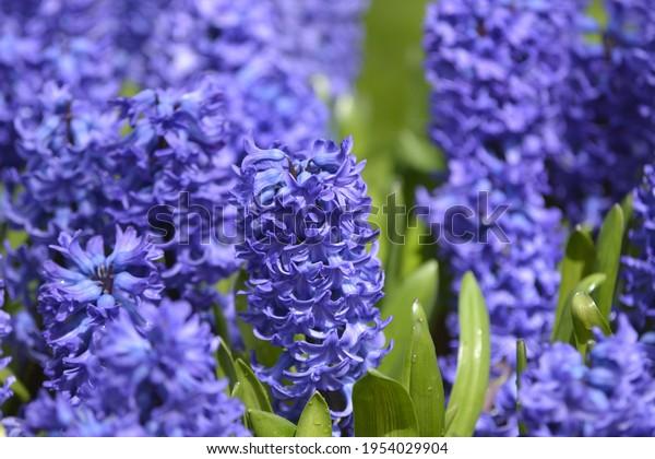 Garden hyacinth in Dutch Keukenhof