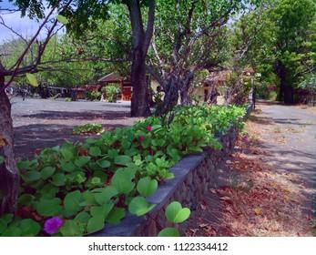 Garden of Ipomoea Pes Caprae Beach Flower Plants At Pemuteran North Bali