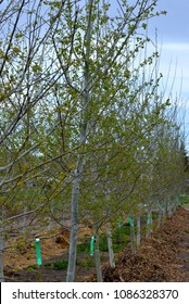 Garden and Landscape: Tree nursery with potted and planted trees.