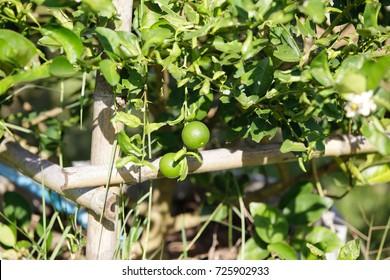 Garden lemon.