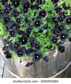 Garden life - Black Molly Pansies (Violets) growing in the garden during summer.  Flowers planted in an old vintage wooden bathtub. Beautiful black flowers.
