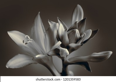 garden lily, buds close up, sepia, studio shooting.
