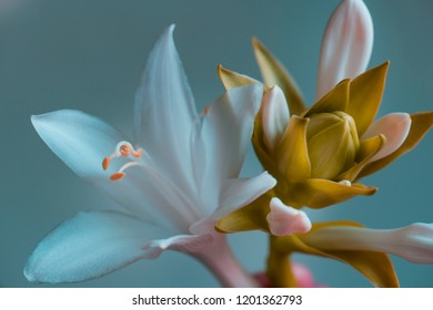 garden lily, buds close-up, gray-blue background, studio shooting.
