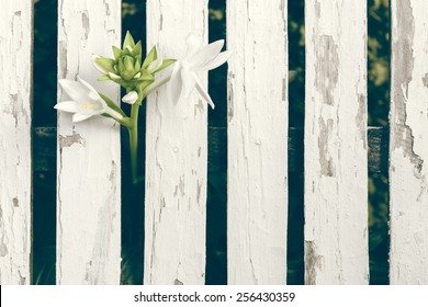 Garden Lily Over White Wooden Fence Background - Close up of a beautiful unique flower breaking free trough a fence
