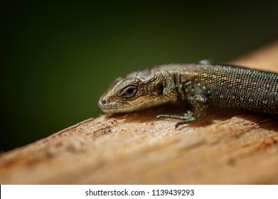 Garden Lizard. Garden Lizards are lizard found widely in Asian countries.