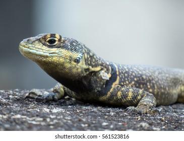 Garden lizard stand still with textured skin