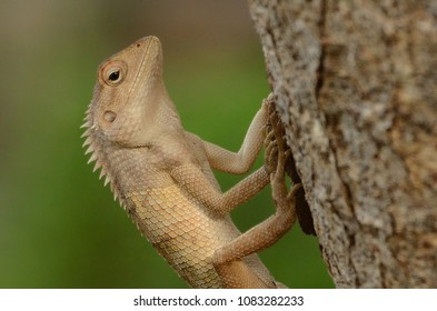 Garden Lizard. These Changeable Lizards are territorial during breeding season and male can be easily distingu