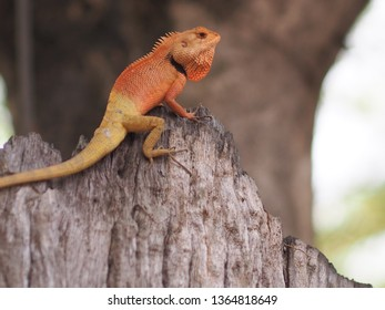 Garden Lizard. These Changeable Lizards are territorial during breeding season and male can be easily distingu,chameleon lizard on white background,selection focus only some point on image