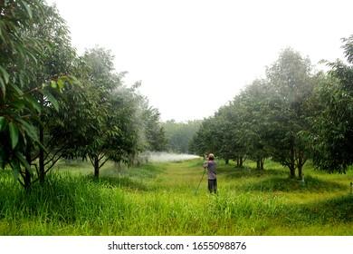 garden man,Crop spraying pesticides fertilizers in Durian garden.