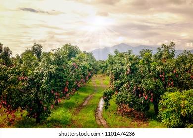 Garden of mango trees