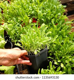 Garden nursery: hand holding plastic plant pot of organic Arugula or Rocket - also known as Rucola, Rugula, Colewort and Roquette salad