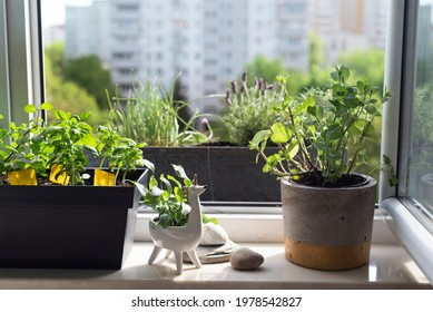 Garden on the windowsill. City garden, home-grown food, healthy, herbs, lavender, mint, chive. Concept of a home garden arranged in micro-space. Nice unicorn flower pot