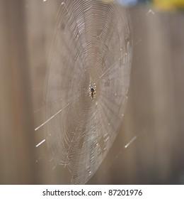 Garden orb weaver spider and its prey
