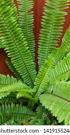 Garden ornamental fern- Nephrolepis cordifolia. Family - Nephrolepidaceae. Common name- fishbone fern,tuberous sword fern,tuber ladder fern, erect sword fern, narrow sword fern and ladder fern.