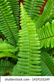 Garden ornamental fern- Nephrolepis cordifolia. Family - Nephrolepidaceae. Common name- fishbone fern,tuberous sword fern,tuber ladder fern, erect sword fern, narrow sword fern and ladder fern.
