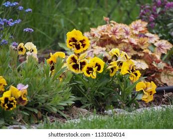 Garden pansy (Viola wittrockiana syn Viola tricolor var. hortensis) 'Rococo'