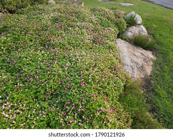 Garden and park beautiful nature.Planting shrub flower