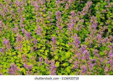 Garden Patch of Lupins
