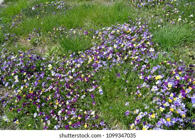 Garden path with viola brightening the grass