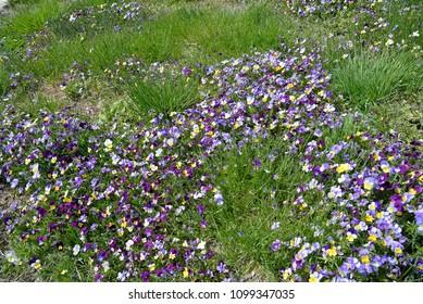 Garden path with viola brightening the grass