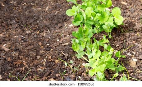 garden peas growing in the soil