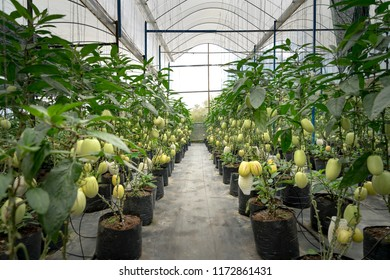 Garden Pepino melon in the greenhouse prepared for harvest in the town of Dalat, Vietnam