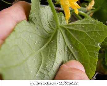 Garden pests. White flies on the leaves of the cucumber plant. Greenhouse whitefly (Trialeurodes vaporariorum) - a primary insect pest of many fruit, vegetable and ornamental crops.