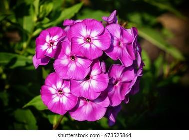 Garden Phlox (Phlox paniculata), flowers of summer