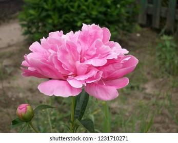In the garden pink peonies bloom.