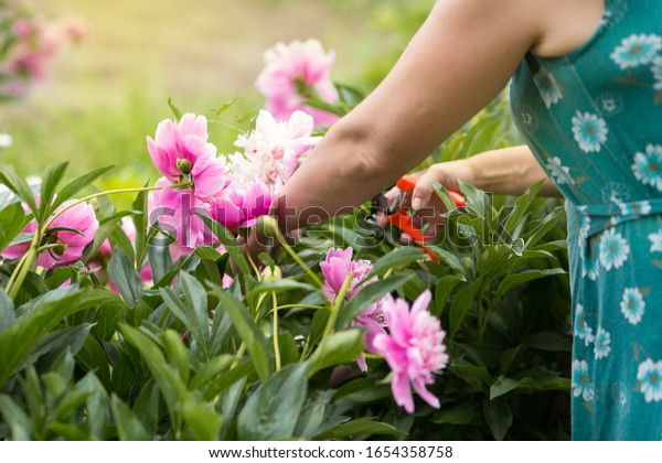 garden pink peonies. Female gardener pruning flowers for a bouquet using secateurs. large photo of hand